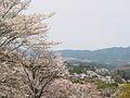 Cherry blossoms at Yoshinoyama 05.jpg