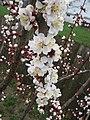 Cherry tree flowers (2396740612).jpg