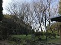 Cherry trees on Mount Korasan.jpg