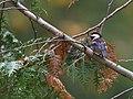 Chestnut-backed Chickadee (43847842870).jpg