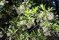 Chionanthus virginicus 13zz.jpg