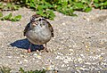 Chipping Sparrow (43822800451).jpg