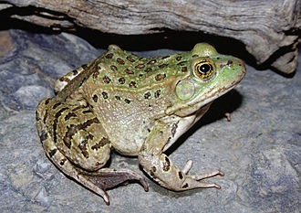 Fossil Creek - Chiricahua leopard frog, a threatened species found in the Fossil Creek watershed