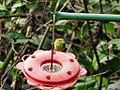 Chlorophanes spiza -Trinidad -female-8.jpg