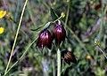 Chocolate lilies (33223862250).jpg