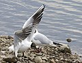Chroicocephalus ridibundus - Black-headed Gull 09.jpg