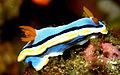 Chromodoris annae - Lembeh Strait.jpg