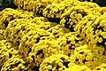 Chrysanthemum Lisa 5zz.jpg
