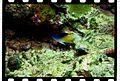 Chrysiptera rollandi (Whitley, 1961).jpg