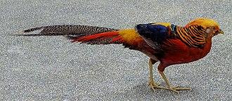 Golden pheasant - Male at Kuala Lumpur Bird Park, Malaysia