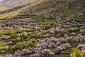 Chunda Valley during Apricot Blossom season in Skardu Baltistan.jpg