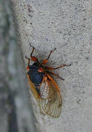 Cicadomorpha - A Magicicada species cicada