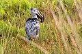 Ciconia pig esgid.jpg