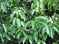 Cinnamomum zeylanicum (Cinnamon) leaves in RDA, Bogra.jpg