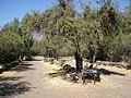Cipreses (Tricahues). - panoramio.jpg