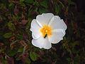 Cistus salviifolius FlowerCloseup SierraMadrona.jpg