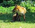 City of London Cemetery, Newham, London England - fox 11.jpg