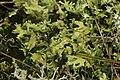 Cladonia foliacea (38301787955).jpg