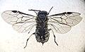 Claremontia hispanica female habitus.jpg
