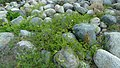 Clematis ligusticifolia plant at Dryden Washington.jpg