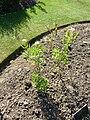 Cleome hassleriana (Capparidaceae) plant.JPG