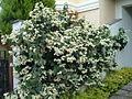 Clerodendron thomsonae2.jpg