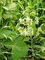 Clerodendrum infortunatum-2-kottor-kerala-India.jpg