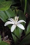 Clintonia uniflora 9062