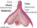 Clitoris Anatomy RO.png