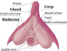 contracția mușchilor penisului)