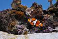 Clownfish @ Sofia Zoo.jpg