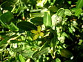 Cneorum tricoccon 2c.JPG