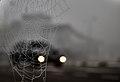 Cobweb morning - Flickr - Staropramen1969.jpg
