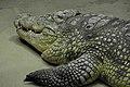 Coccodrillo del Nilo at Berlin acquarium (2532216148).jpg