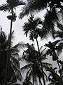 Coconut Plantation.jpg