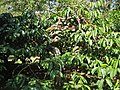 Coffee tree fruit Coorg.jpg