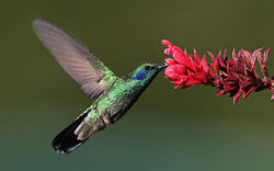 Photograph of a hummingbird feeding from a flower