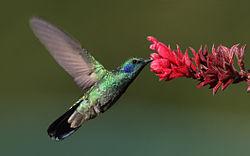 Un colibrí.