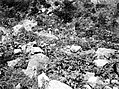 Collectie Nationaal Museum van Wereldculturen TM-10021361 Bouwland waar veel rotsen in liggen beplant met cassave Saba -Nederlandse Antillen fotograaf niet bekend.jpg