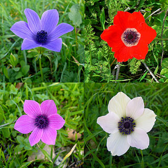 Anemone coronaria - Anemone coronaria in various colors.