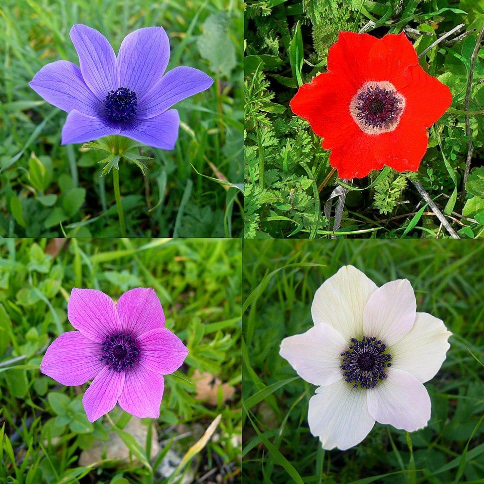 Colorful-Anemone-coronaria-Zachi-Evenor