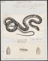 Coluber neumayeri - 1700-1880 - Print - Iconographia Zoologica - Special Collections University of Amsterdam - UBA01 IZ12000163.tif
