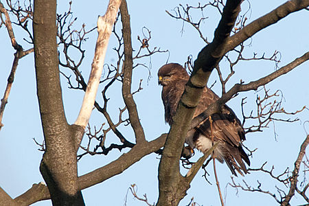 Common Buzzard(js) Lodz(Poland)02.jpg