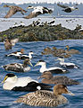 Common Eider From The Crossley ID Guide Eastern Birds.jpg
