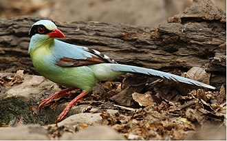 Common green magpie - In Kaeng Krachan National Park, Thailand