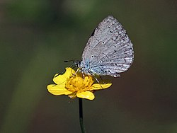 Common Hedge Blue Acytolepis puspa I IMG 3928.jpg