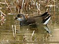 Common Moorhen (Gallinula chloropus) (27804807946).jpg