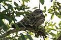 Common Nighthawk Anahuac NWR-Jackson Prairie Woodlot TX 2018-04-24 15-01-18 (41157422375).jpg