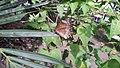 Common Palmfly.jpg