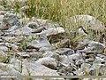 Common Sandpiper (Actitis hypoleucos) & Green Sandpiper (Tringa ochropus) (35800303614).jpg